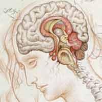 Immagine di un disegno dei gangli basali
