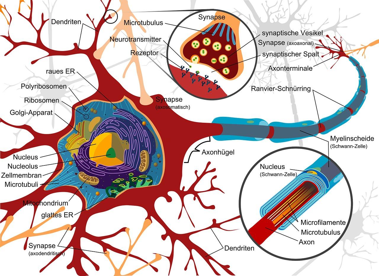 intelligenza e struttura cerebrale